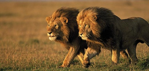 Young male lions leave their home pride to lead a pride of their own