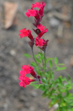 Photo 3 - I believe these are small, red, penstemon flowers.