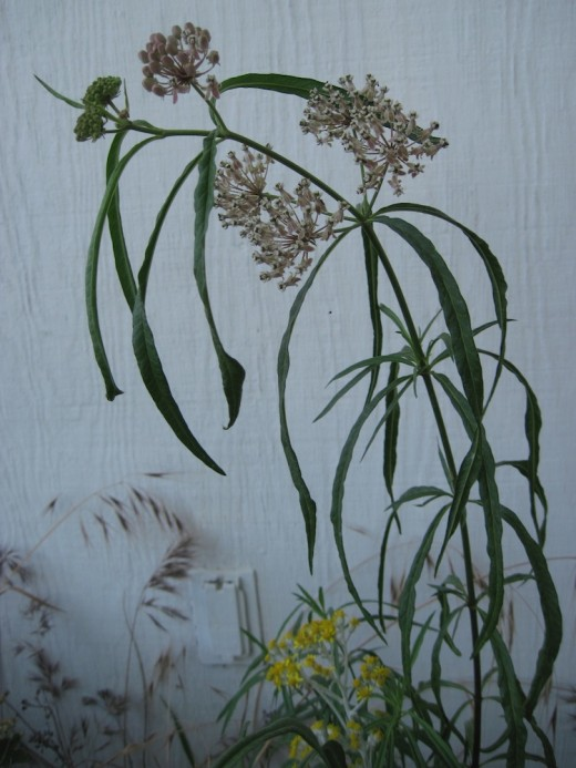 This is  Narrowleaf Milkweed that grows on my property in San Luis Obispo County, California. It is shown in bloom in July, where it grows in a flower bed beside Dusty Miller in bloom.