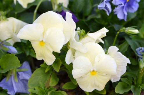 Photo 8 - Yellow Pansies with Blue, as contrast