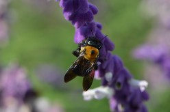 A Gallery of Bumble Bees