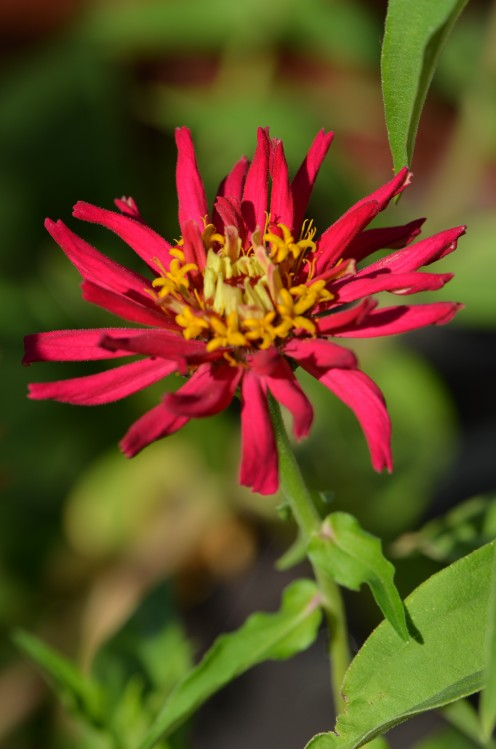 Photo 4 -  This variety of zinnia is a little different from the first one.  There are several varieties.  A favorite to attract butterflies if you want them around.