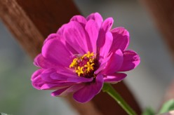 Zinnia Flowers - A Photo Gallery and Information