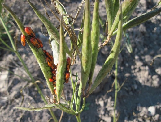 A group of milkweed bug nymphs attacking a milkweed pod.