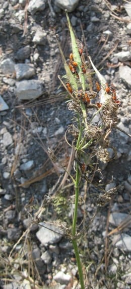 This group of milkweed bugs works on both pods and newly exposed silk to find seeds.