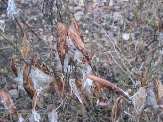The rain has matted down the silk, but the milkweed bugs are not fair weather friends.