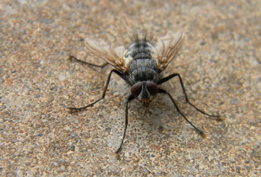This cool fellow was evidently trying to warm himself on the concrete slab.  Really a good-looker, don't you think?   It wasn't a housefly.  Maybe a baby horsefly?