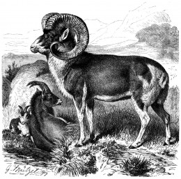 Engraved print of Marco Polo sheep from 1883