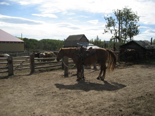Picketed horse at dude ranch in Alberta.