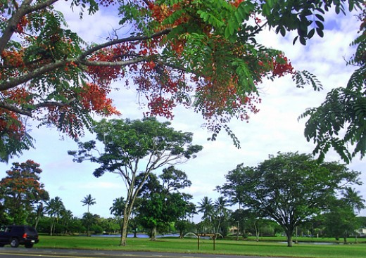 Blooming rainbow shower trees along Kamehameha Ave on Hilo bayfront