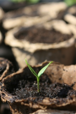 Tomato Seedling - tender and young
