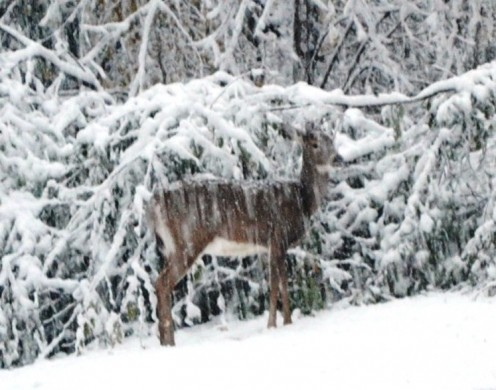 A deer wanders through the snow.