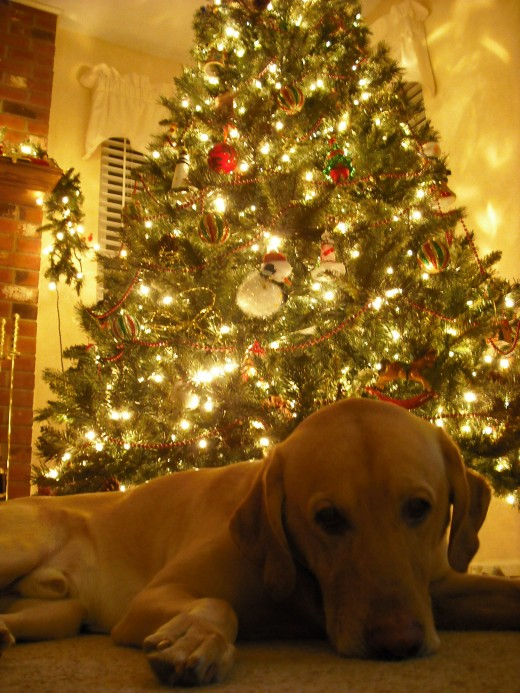 Marley in front of the christmas tree