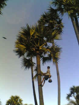Young man climbing a palm tree!