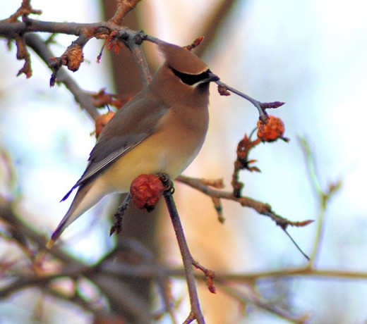 Cedar Waxwing among the crabapples, by BobMacInnes