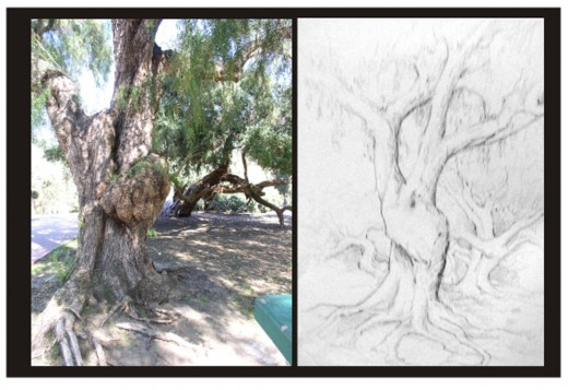 This is a photo and my sketch of the same grouping of trees in Balboa Park, San Diego