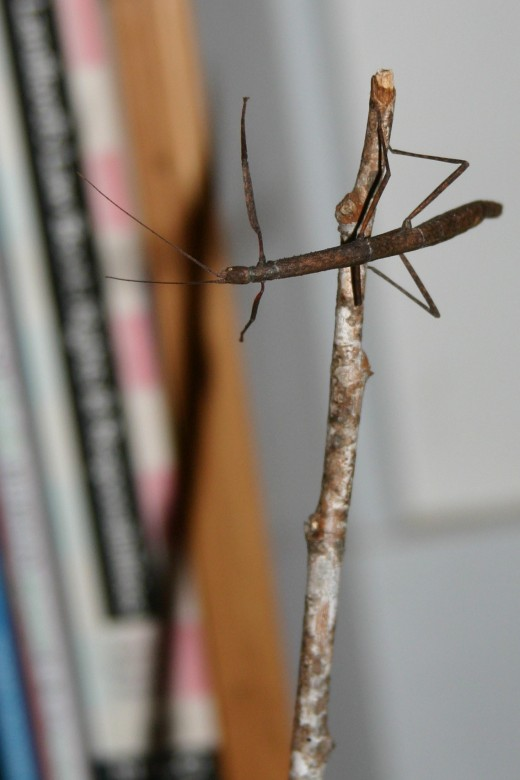 Walking Stick captured in Berkeley, California