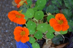 Nasturtium Flowers - A Photo Gallery of Nasturtiums and Facts