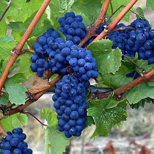 Pinot noir grape