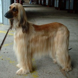 Barbarella's coat was shorter than this dog, because she was a pain to brush. So they kept her cut short. She was a spoiled brat and did what she felt she wanted to do.