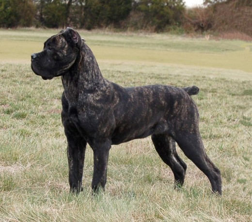 The Cane Corso sometimes sports a brindle coat.