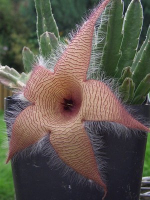Stapelia gigantea flower and stems