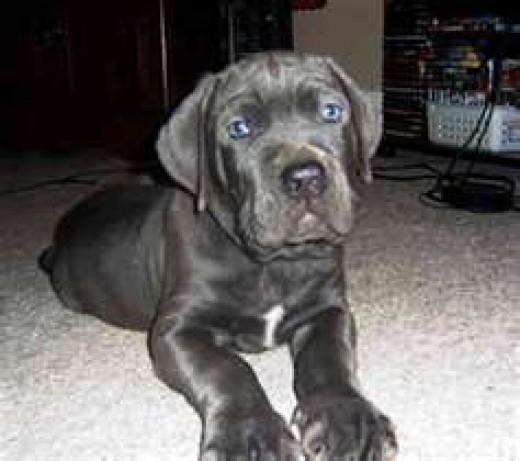 A Cane Corso puppy