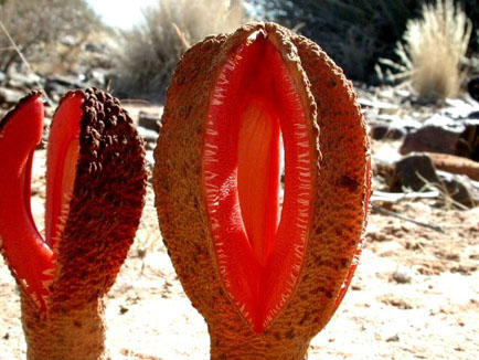 Hydnora africana flowers, looking more like something out of the movie tremors.