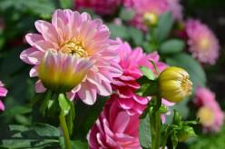 Photo 3 - Chrysanthemums, I believe.