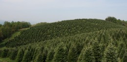 Floyd, VA Christmas Trees~Fraser Fir