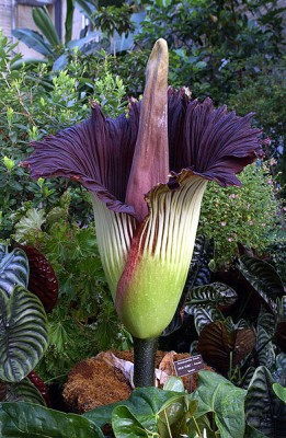 Amorphophallus titanum in flower, Titan arum was an apt name for this behemoth.