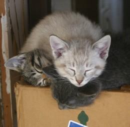 Shorter haired semi Seal Point kitten on top