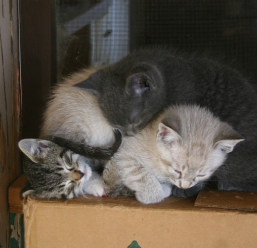 There are 5 kittens...the only pic I caught of the all gray kitten is this one.....he is on top ofthe pile here.