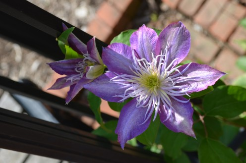 Look at the center of this clematis flower, it looks like a piece of art!