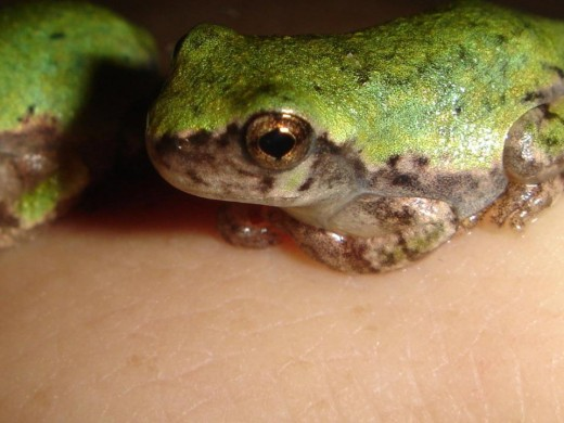 Tree Frogs. ©2010 Sarah Haworth.