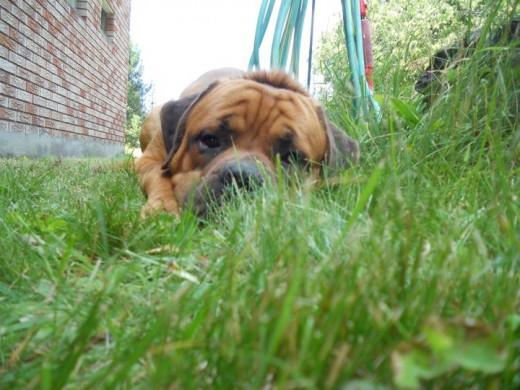 Toby. English Mastiff Puppy. ©2011 Sarah Haworth.