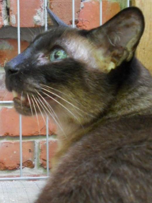 Siamese Cat. ©2011 Sarah Haworth.