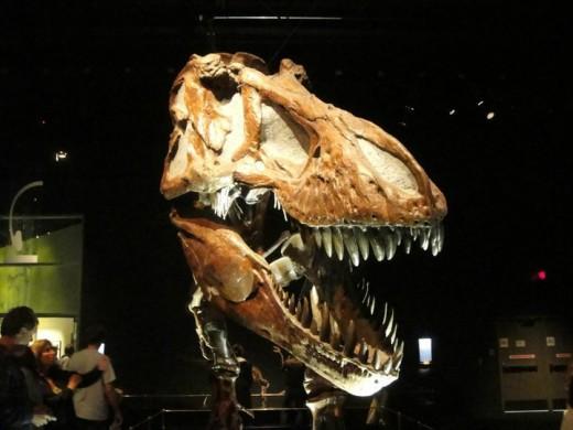 T-Rex Fossils. ©2011 Sarah Haworth.