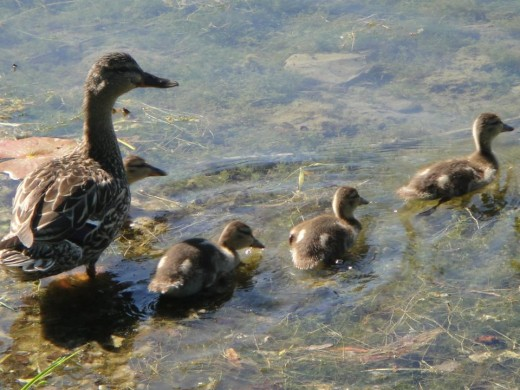 Mother Duck and Goslings. ©2011 Sarah Haworth.