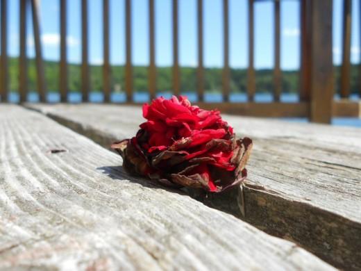 On cottage deck. Rose. ©2011 Sarah Haworth.