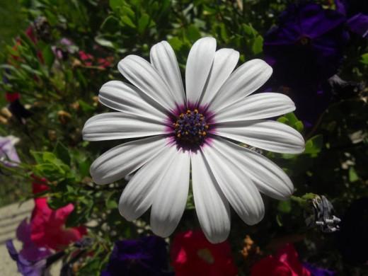Coloured Daisy. ©2011 Sarah Haworth.