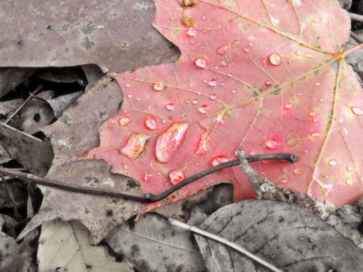 Dulled a background color and made a focus on the red leaf's water droplets.©Sarah Haworth 2010-2011.
