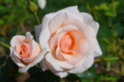 Rose Photo Gallery - Peach and Orange Colored Roses