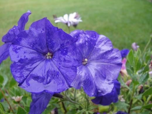 Summer flower after a rainfall. ©2011 Sarah Haworth.