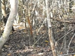 The thicket above has a number rubs leading into this bucks bedding area.