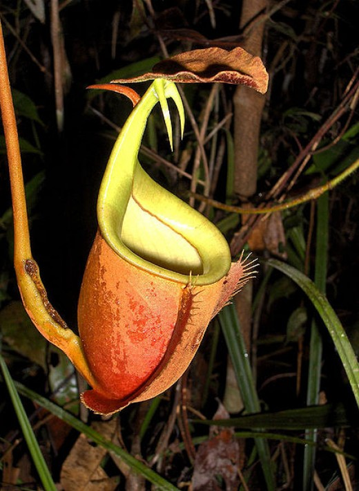 The suggestive upper pitchers of Nepenthes bicalcarata.