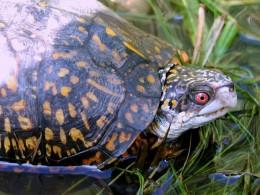 Gulf Coast Box Turtle (Terrapene carolina major), male