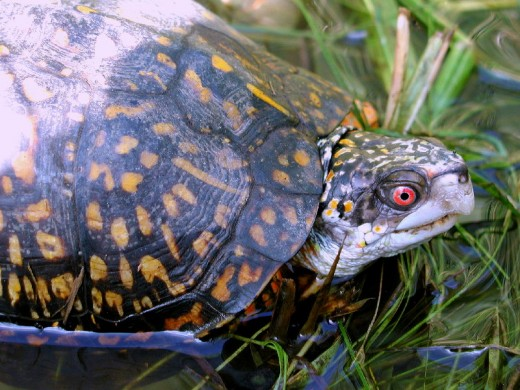Gulf Coast Box Turtle (Terrapene carolina major), male