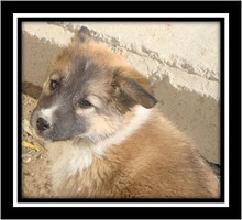 Sasha killed by bomb blast in Afghanistan Feb 11, 2010 awarded with American Red Cross hero dog.