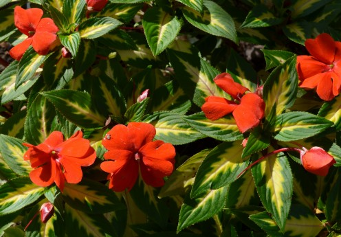Photo 9 -  These flowers are pretty, but so are the leaves!  In fact, they are very eye catching.  One variety of impatiens.
